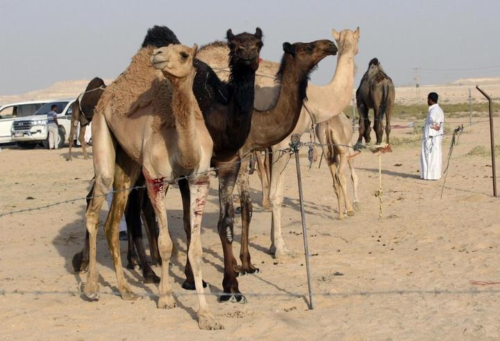 UAE nổi tiếng với giải đua lạc đà